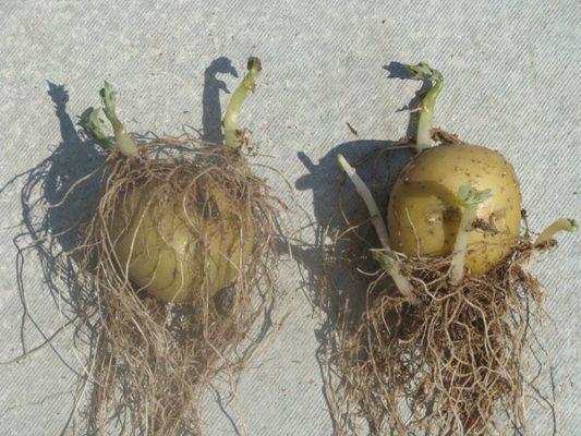 Картофель с корешками
