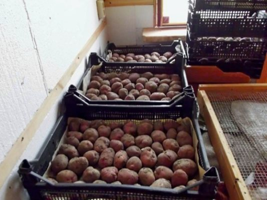 Проращивание картофеля на свету