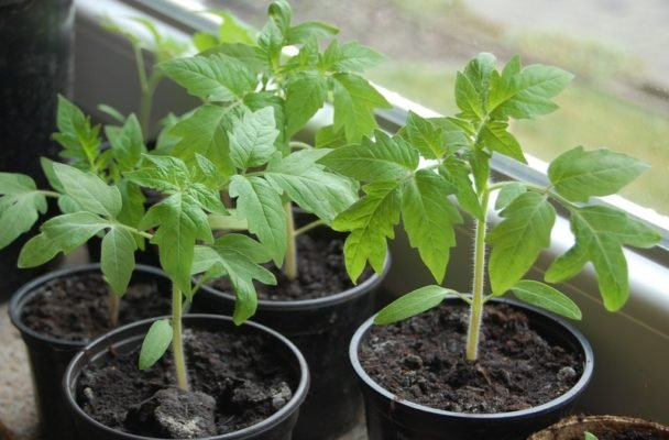 Как правильно выращивать помидоры пинк парадайз?