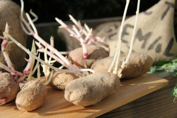 Слишком длинные ростки картофеля