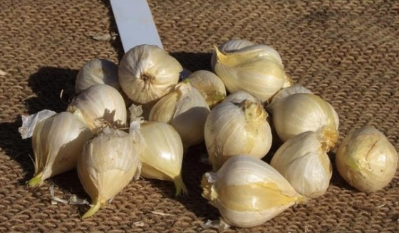 Дочерние луковицы