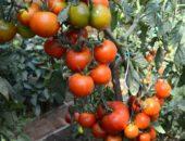 видимо-невидимо томат