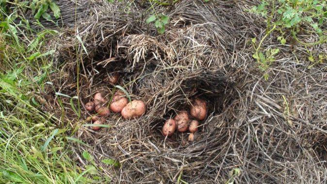 Проращивание картофеля в соломе