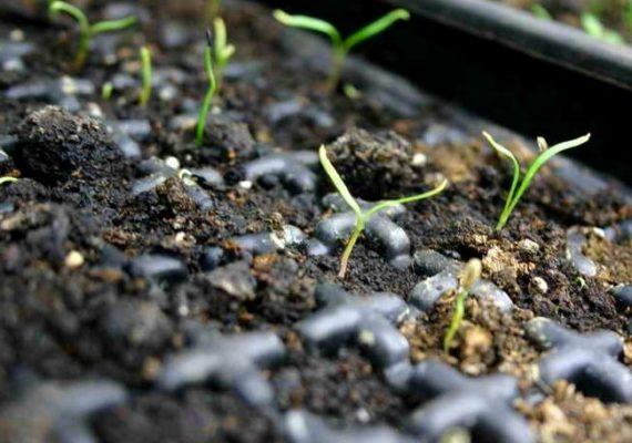 Всходы из семян эстрагона