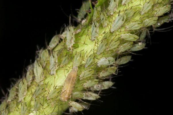 Тля на стебле эстрагона