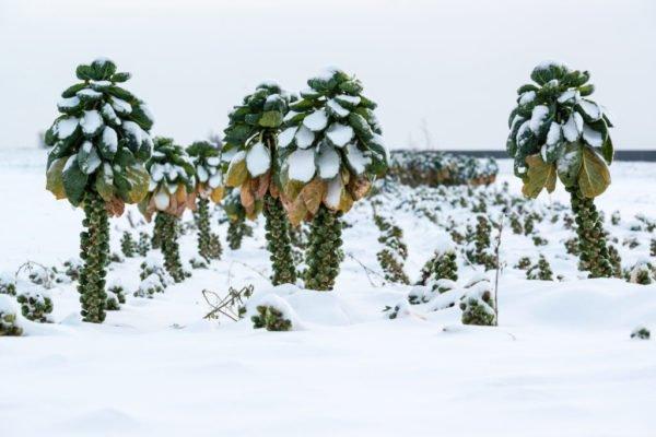 Брюссельская капуста на грядке под снегом