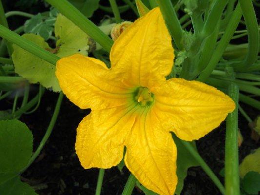 Цветок патиссона