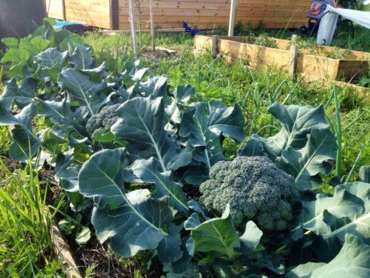 Подходящее место для выращивания брокколи