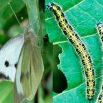 Капустная бабочка и её гусеницы