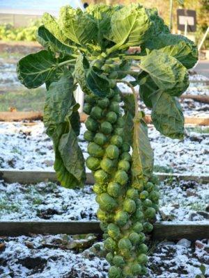 Урожай брюссельской капусты на грядке