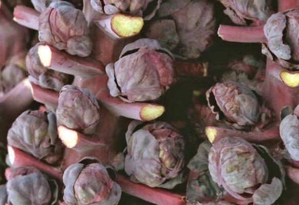 Красная брюссельская капуста