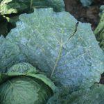 Пероноспориоз капусты