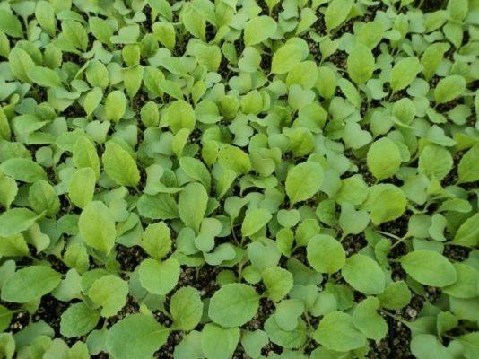Всходы из семян китайской капусты в открытом грунте