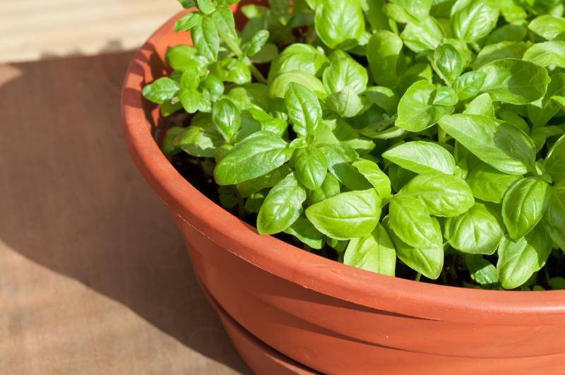 Посадка базилика на рассаду как вырастить из семян в домашних условиях