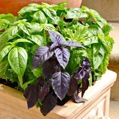 Выращивание базилика в домашних условиях