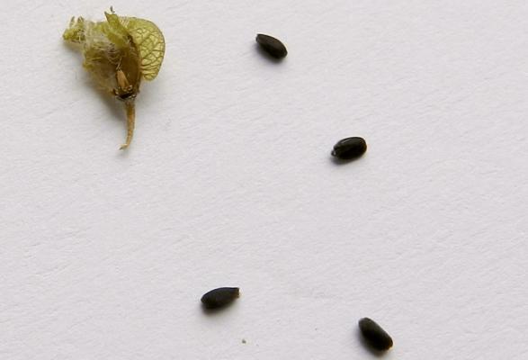 Коробочка и семена базилика