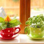Выращивание зелени в керамических чашках