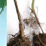 Корневая гниль цветной капусты