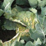 Пероноспориоз цветной капусты