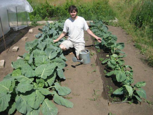 Подходящее место для выращивания цветной капусты