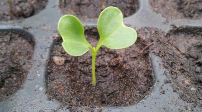 Всходы из семян цветной капусты