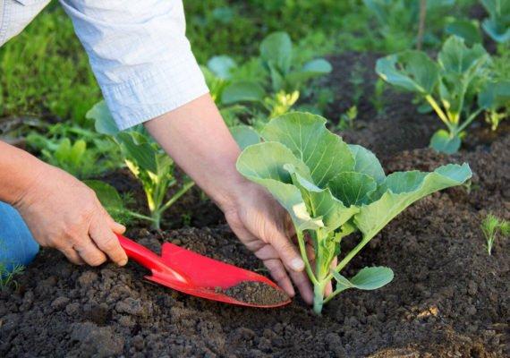 Высадка рассады цветной капусты в грунт