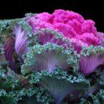 Цветок декоративной капусты