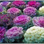 Кружевные розы декоративной капусты