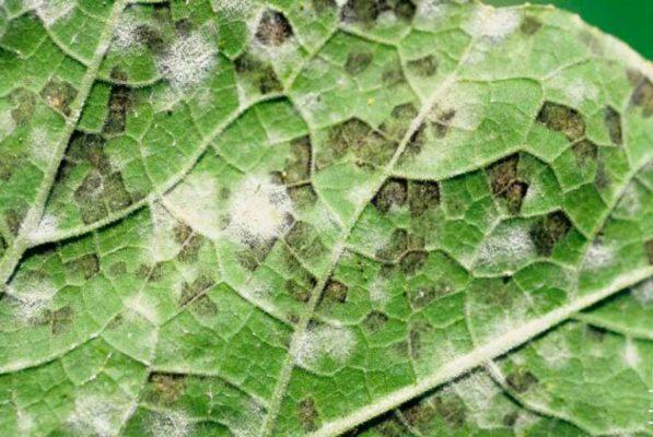 Ложная мучнистая роса капусты