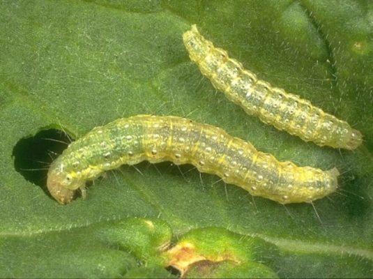 Гусеницы капустной моли