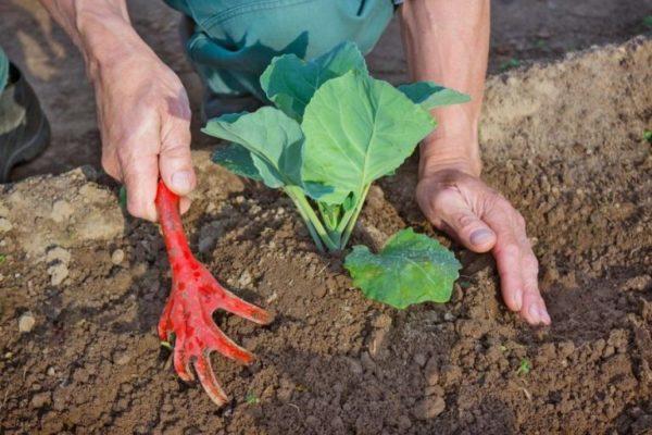 Рыхление капусты
