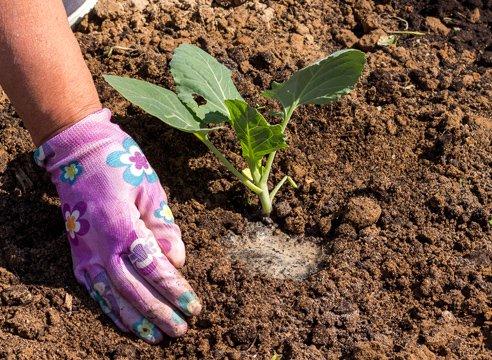 Высадка капустной рассады в грунт