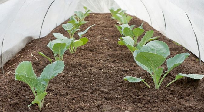 Выращивание капусты под укрывным материалом