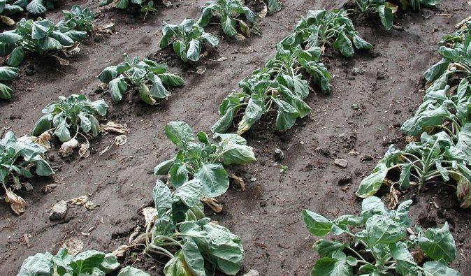 Посадки капусты, поражённые килой
