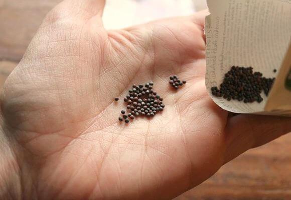 Семена листовой капусты