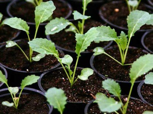 Всходы из семян листовой капусты
