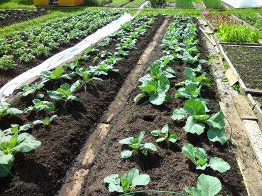 Подходящее место для выращивания листовой капусты