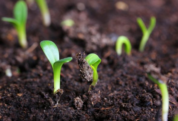 Всходы из семян в открытом грунте