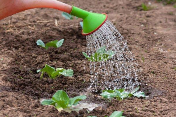 Неправильный полив листовой капусты