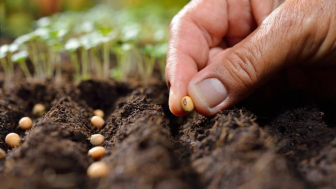 Высадка семян фасоли в грунт