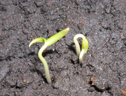 Всходы из семян фасоли в открытом грунте
