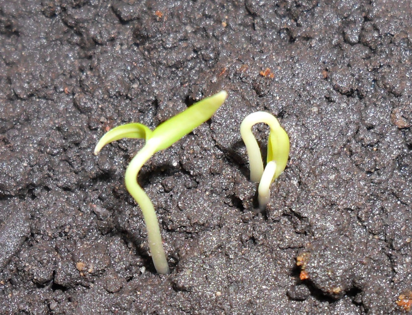 картинка всхожести семян