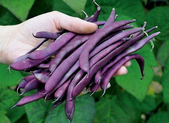 Фиолетовая фасоль Блаухильде