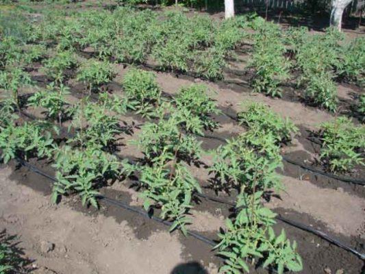 Подходящее место для выращивания томатов