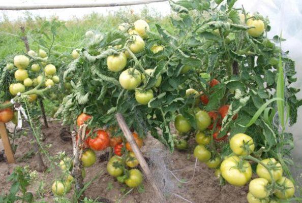 Урожайность томатов Санька