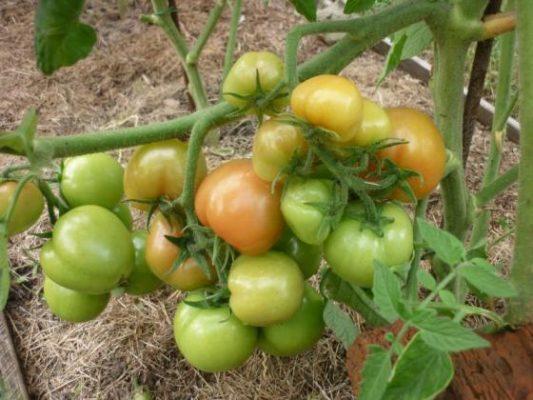 Урожай томатов Санька