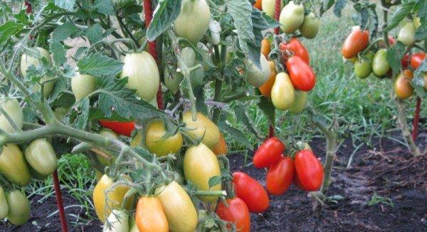 Плоды Челнока на кусте