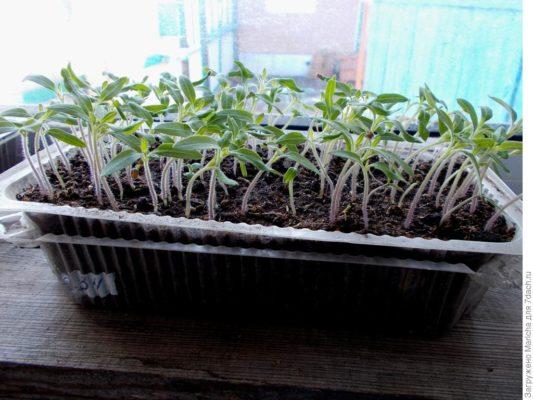 Всходы помидоров в ящике