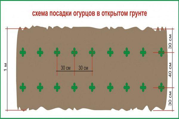 Схема посева огурцов
