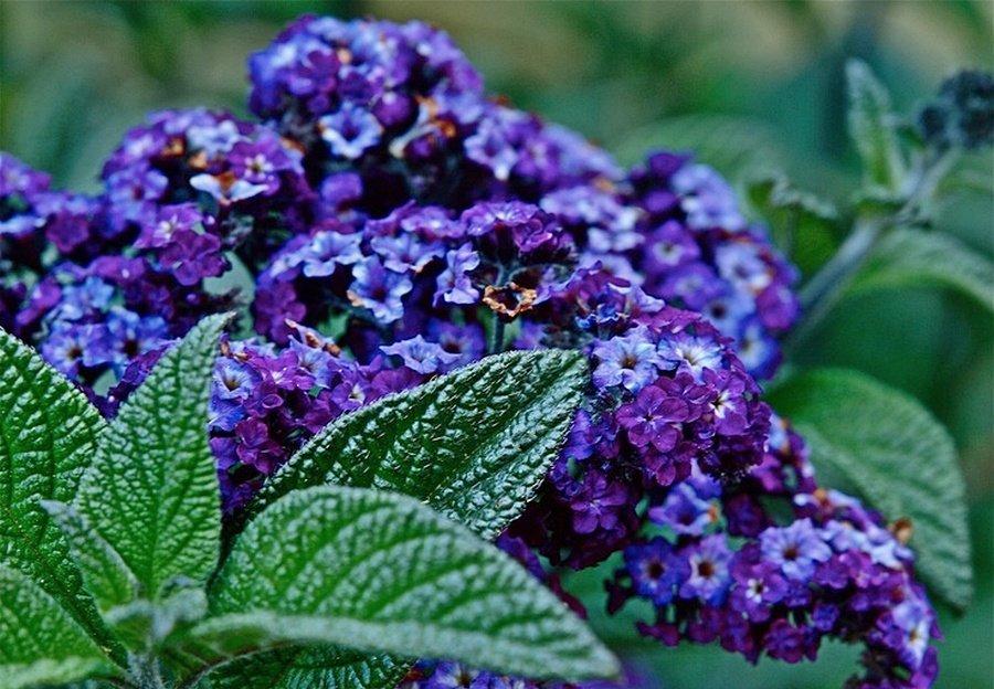 Цветы гелиотропа картинки